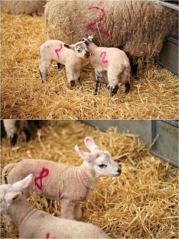 Lambing at The Goodwood Hotel