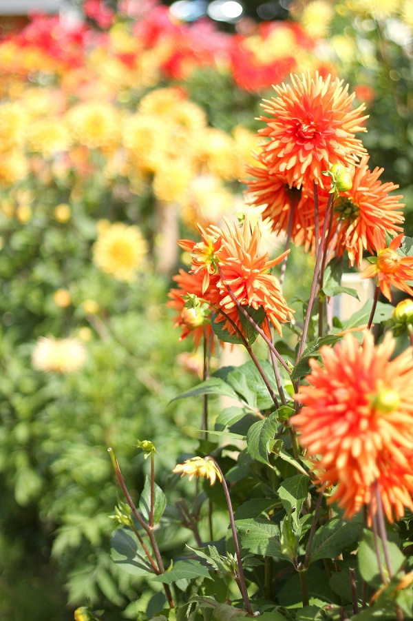 National Dahlia Collection Varfell Farm Cornwall